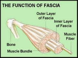 You are currently viewing Fascia – The Missing Body Maintenance Link